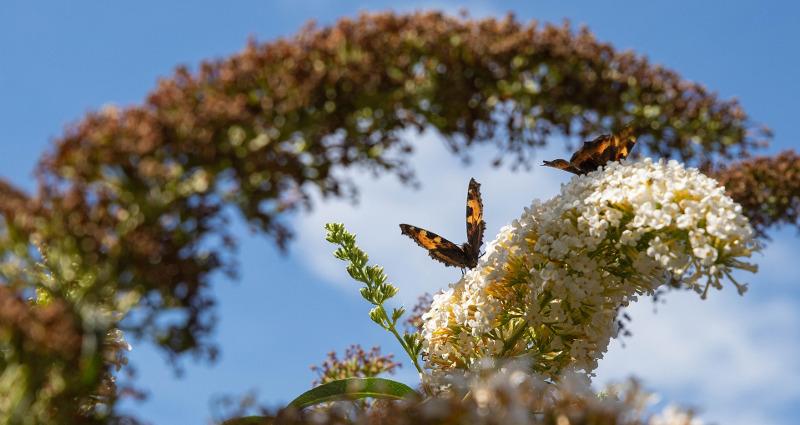 butterfly-bush-in-late-summer.jpg