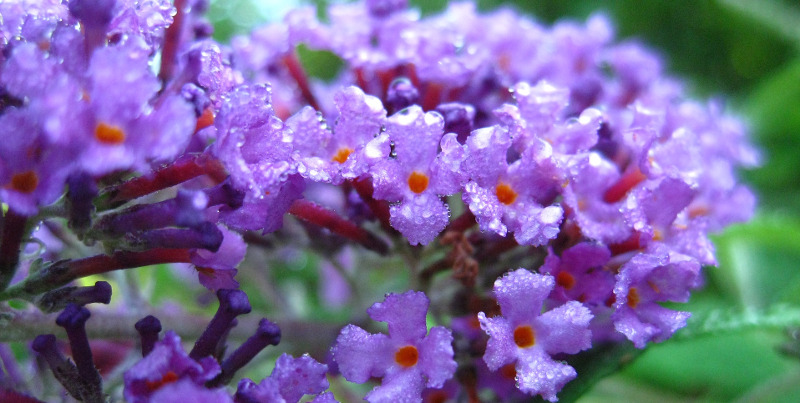 butterfly-bush-just-watered.jpg