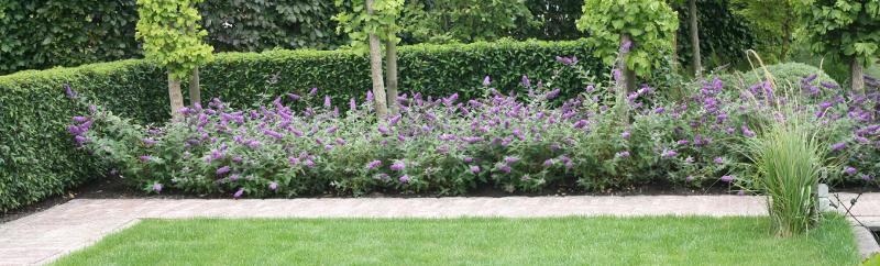 butterfly-bush-privacy-hedge-in-backyard.jpg