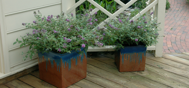 butterfly-bushes-growing-in-square-planters.jpg