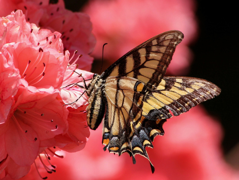butterfly-on-azalea-flower.jpg