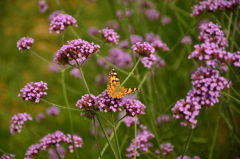 butterfly-on-verbena-plants-blooming.jpg