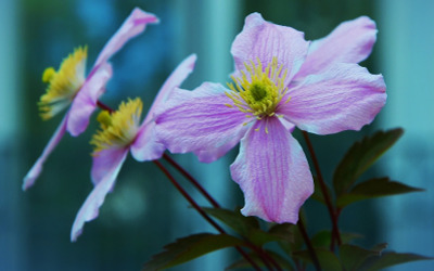 c.-viticella-clematis-flower.jpg