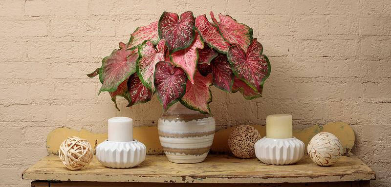 caladiums-growing-in-a-pot-indoors.jpg