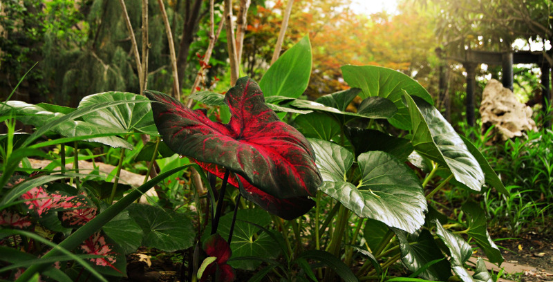 caladiums-growing-in-the-sun-and-shade.jpg