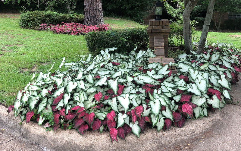 caladiums-planted-in-the-garden.jpg