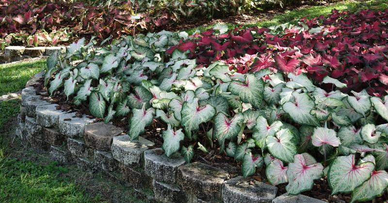 caladiums-plants-in-a-row-as-a-garden-border.jpg