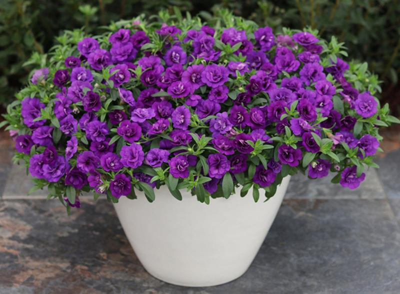 calibrachoa-blooming-in-planter.jpg