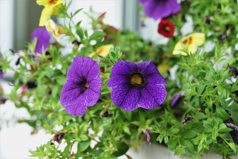 calibrachoa-plants-in-a-window-box-planter.jpg