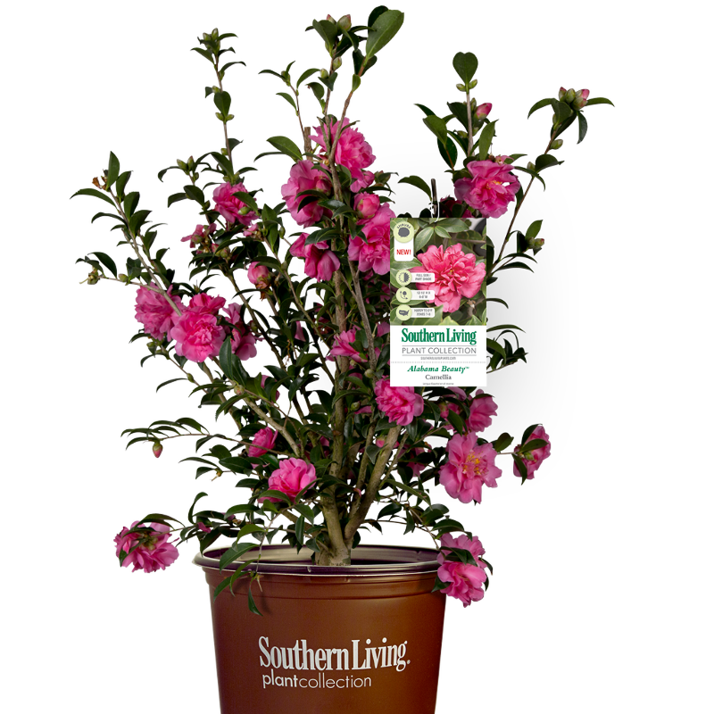 camellia-in-a-container.png