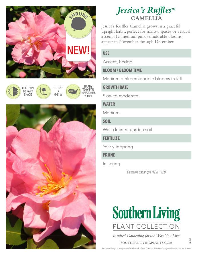 Jessica's Ruffles Camellia Plant Facts