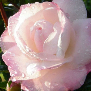 camellia-just-watered.jpg