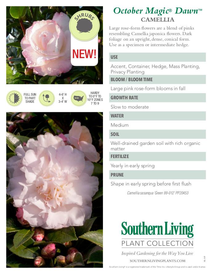 October Magic Dawn Camellia Plant Facts