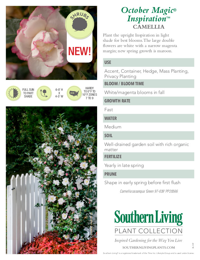 October Magic Inspiration Camellia Plant Facts