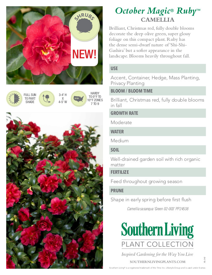 October Magic Ruby Camellia Plant Facts