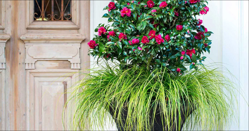 camellia-shrub-in-planter-with-ornamental-grass.png