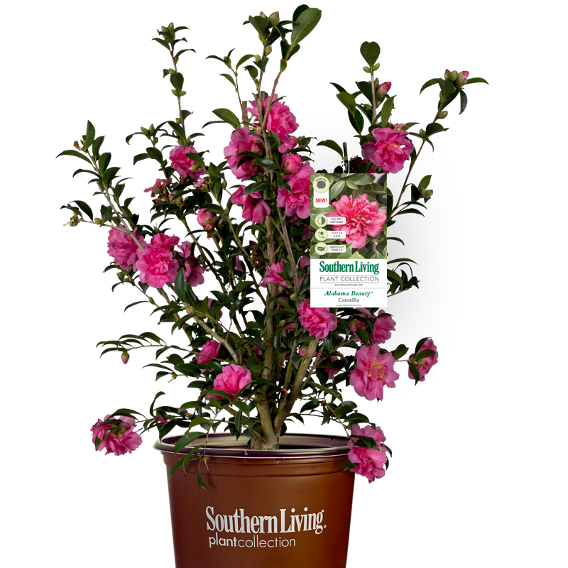 camellia-shrub-in-southern-living-pot.png
