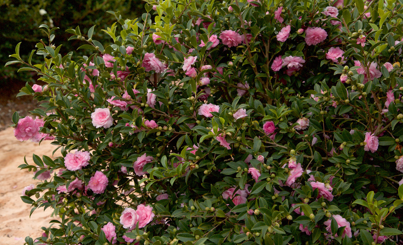 camellia-shrub-with-pink-flowers.jpg