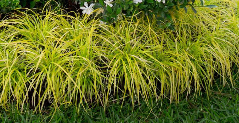 carex-grass.jpg