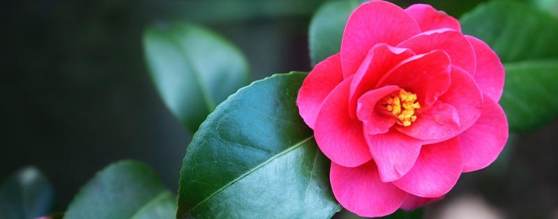 caring-for-camellia-flowers.jpg