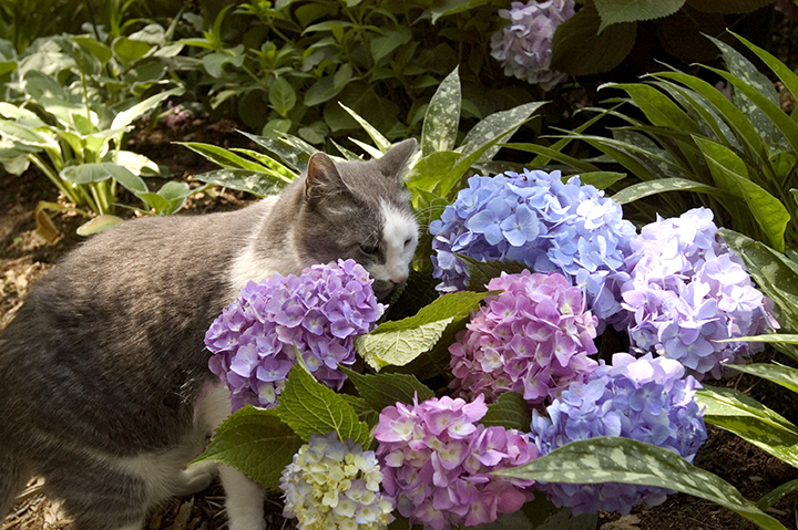 cat-with-a-hydrangea-shrub-blooming.jpg