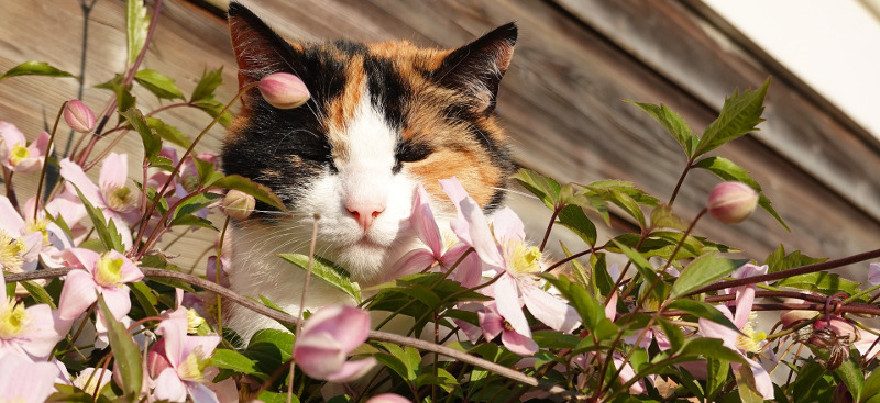 cat-with-clematis.jpg