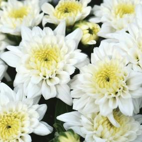 Celestial White Garden Mum