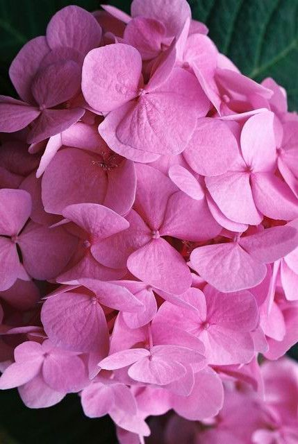 Changing Hydrangea Color to Pink