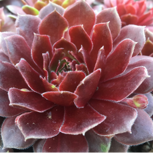 cherry-berry-hens-and-chicks.png