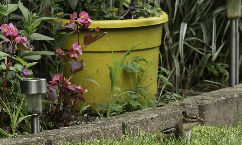 chipmunk-next-to-garden-planter.jpg