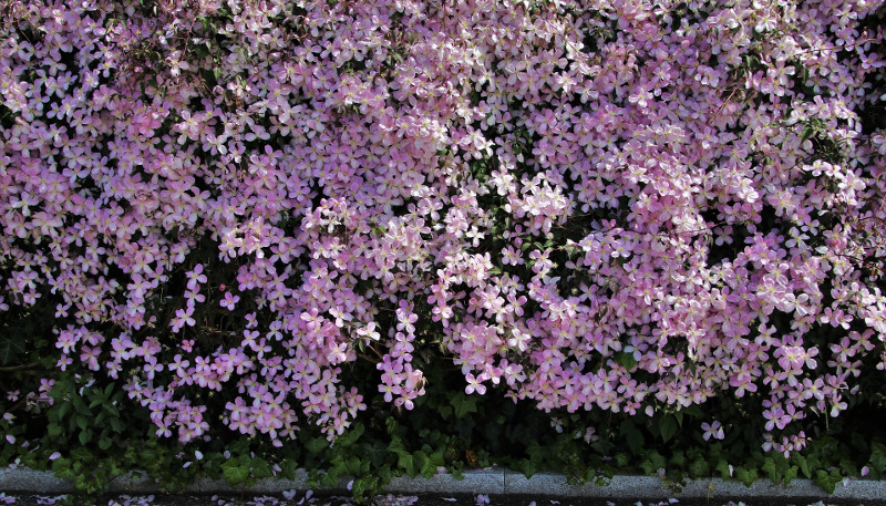 clematis-covering-a-large-area-and-covered-in-blooms.jpg