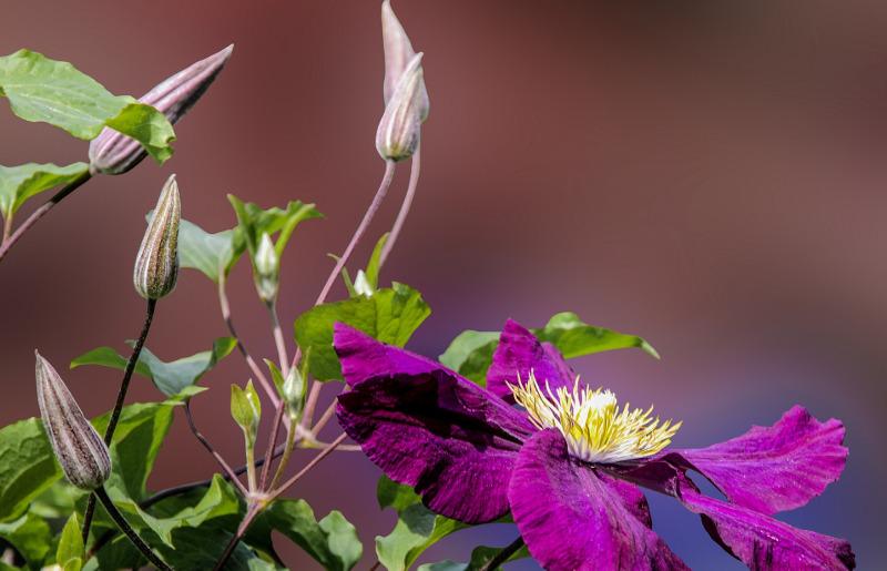 clematis-flower-buds.jpg