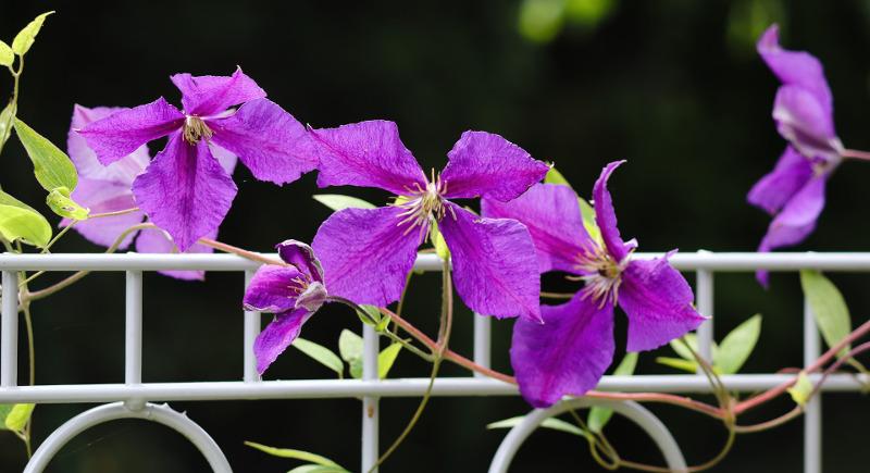 clematis-growing-on-metal-fence.jpg