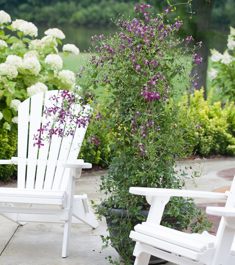 clematis-jackmanii-growing-in-planter-on-the-patio.jpg