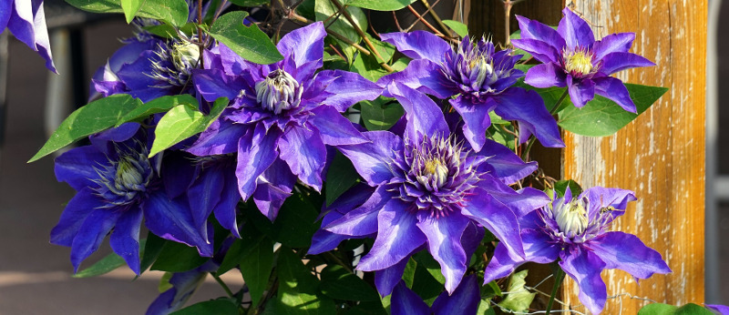 clematis-on-fence.jpg