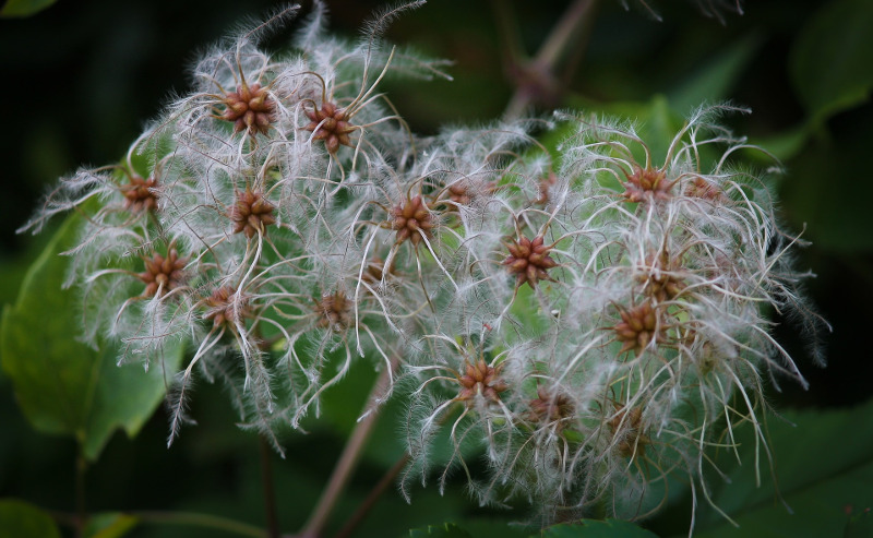 clematis-seed-pods.jpg