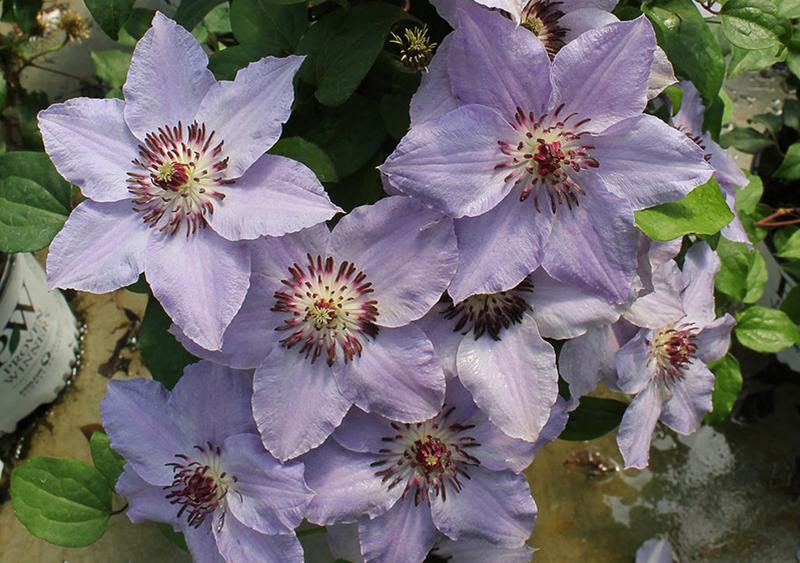 clematis-vine-flowering-in-summer.jpg