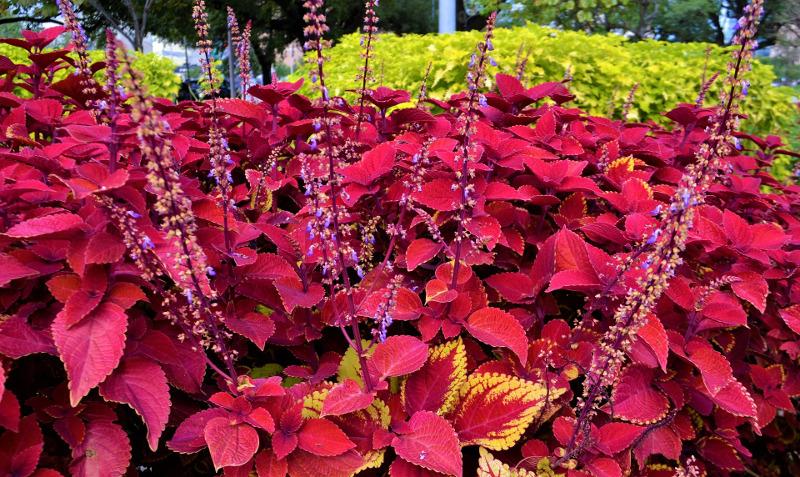 coleus-plants-flowering.jpg