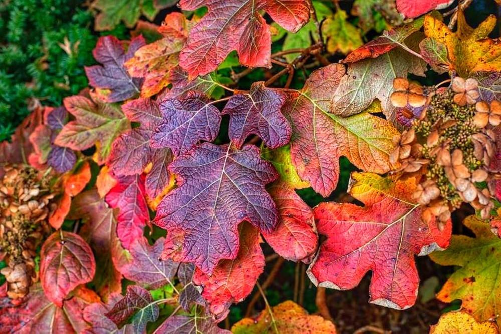 colorful-oakleaf-hydrangea-foliage-in-the-fall.jpg