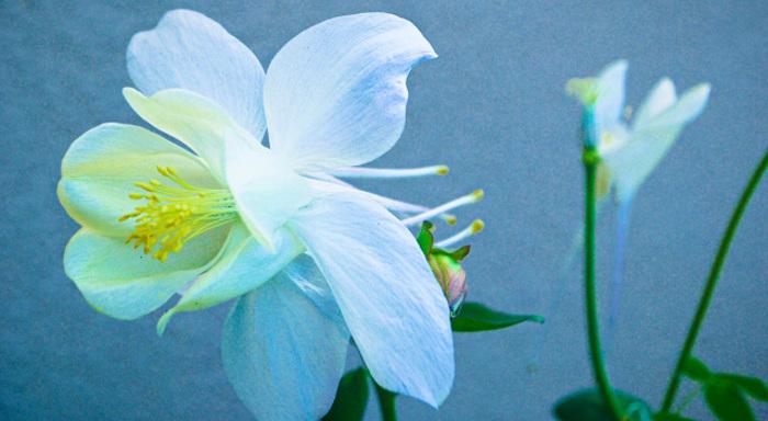 columbine-blooms.jpg