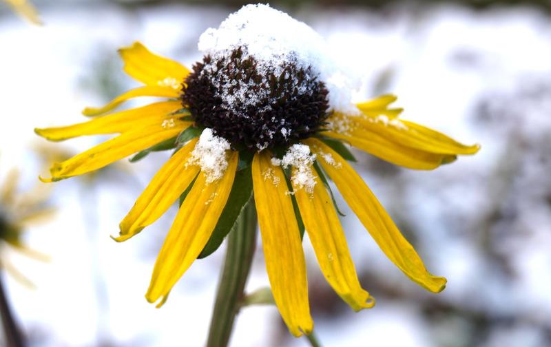 coneflower-covered-in-snow.jpg