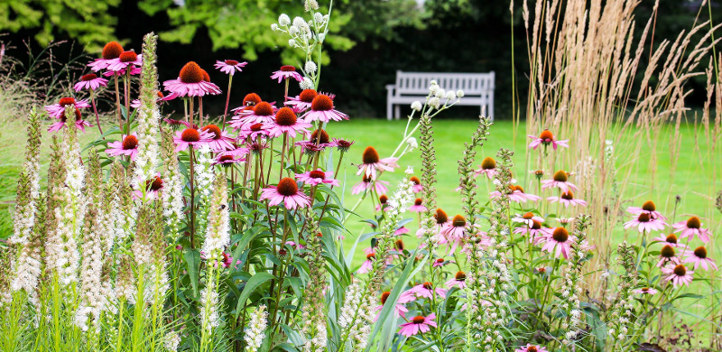 coneflowers-growing-in-sunny-location-in-the-park.jpg