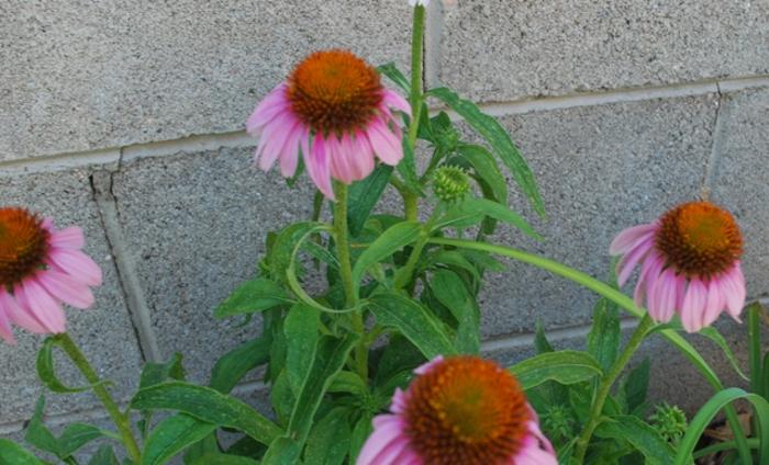 coneflowers-make-striking-cut-flowers.jpg