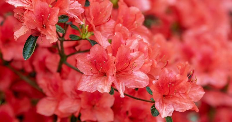 coral-azalea-blooms.jpg