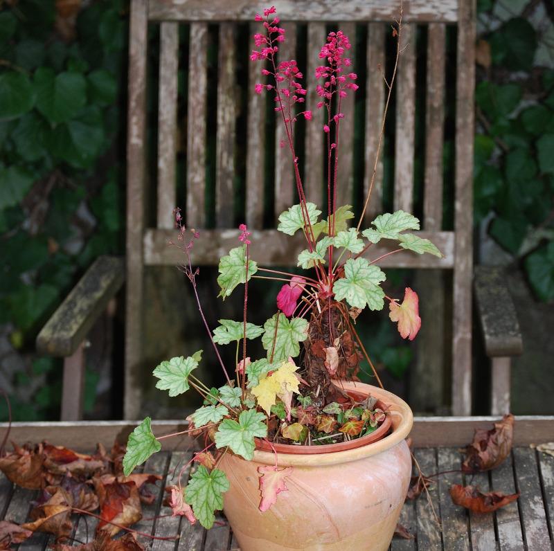 coral-bells-blooming-pink-flowers-in-pot.jpg