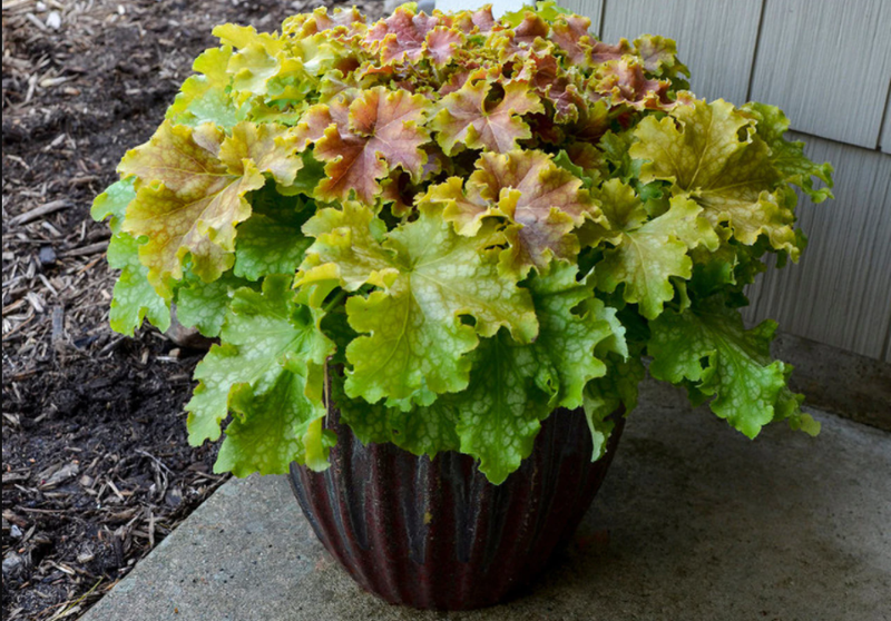 coral-bells-growing-in-planter.png