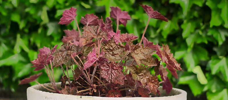 coral-bells-in-a-planter.jpg