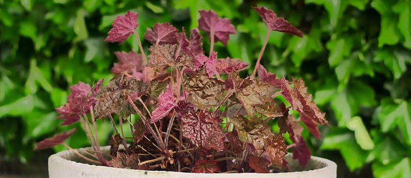 coral-bells-planted-in-container.jpg