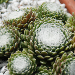 cotton-candy-hens-and-chicks-1.png