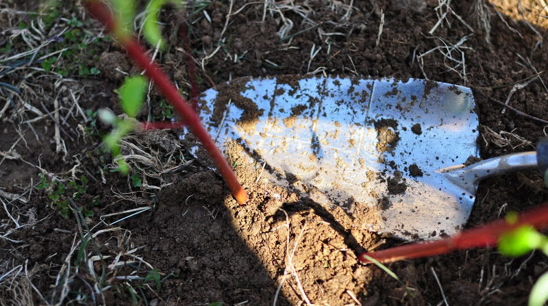covering-red-twig-dogwood-cuttings-with-soil.jpg